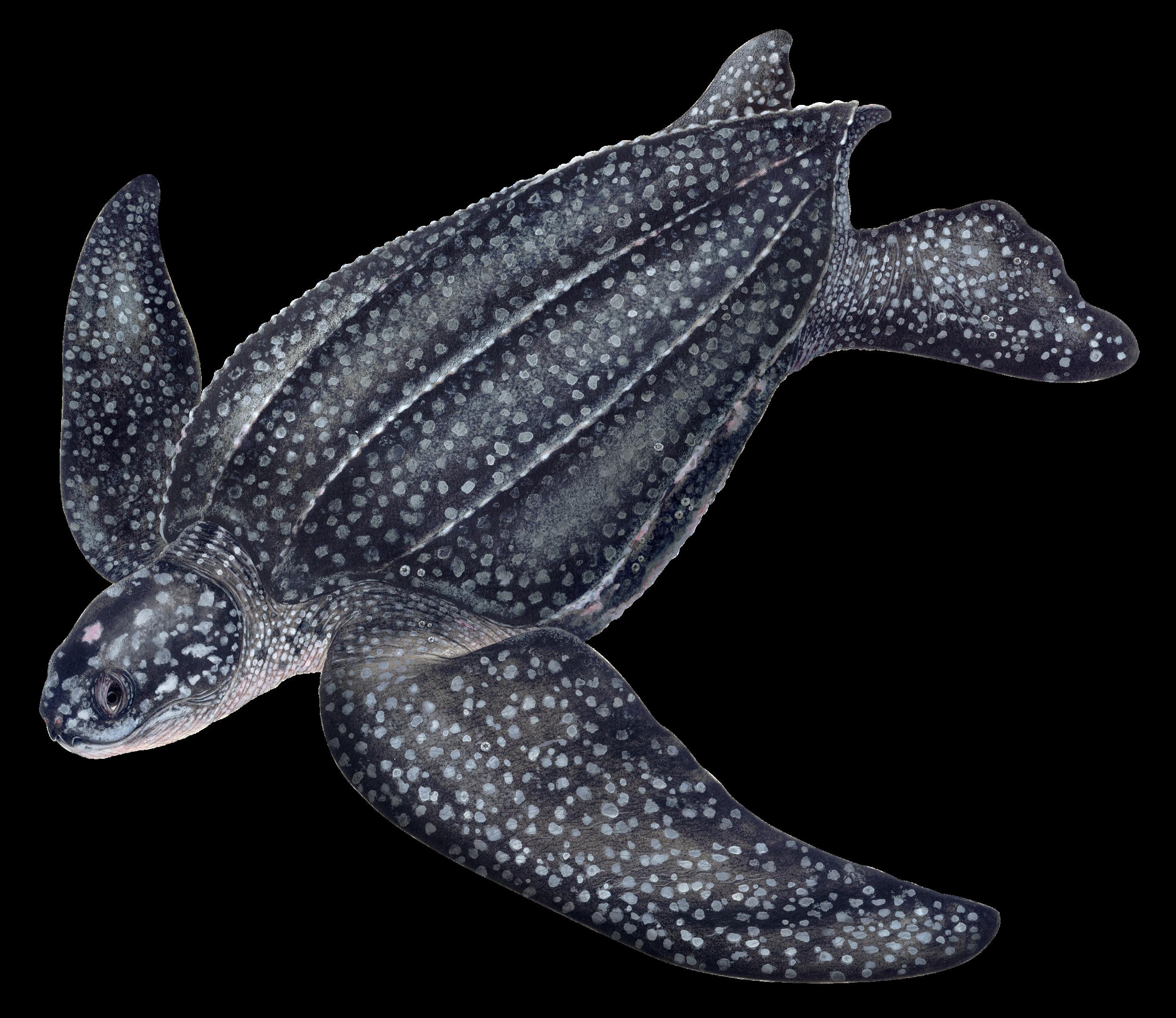 Leatherback Illustration