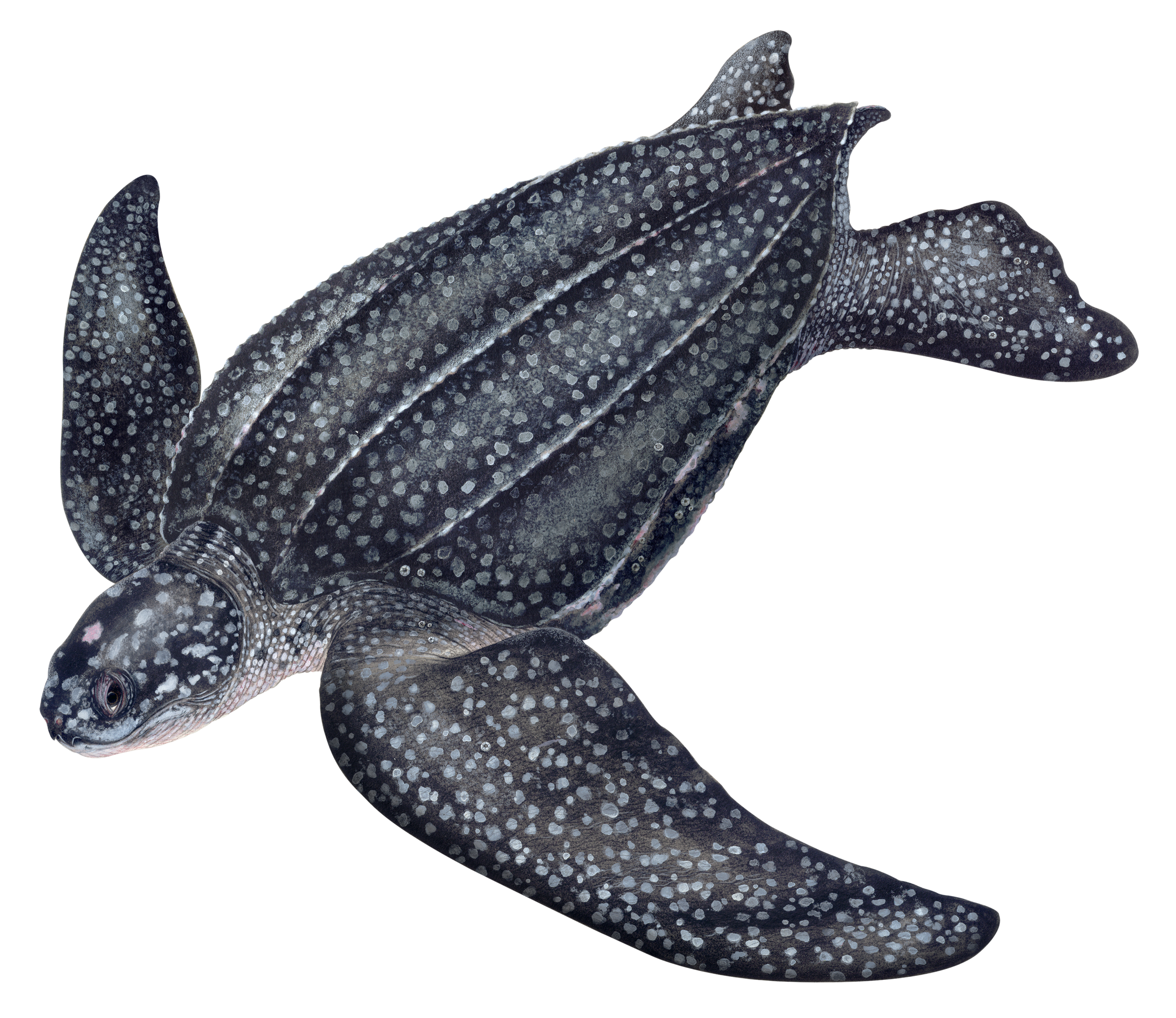 Illustration of a Leatherback