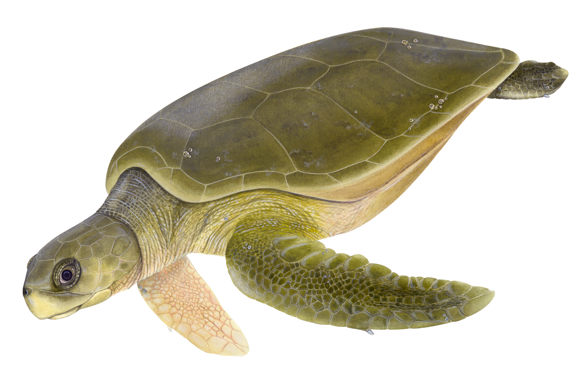 Illustration of a Flatback Sea Turtle