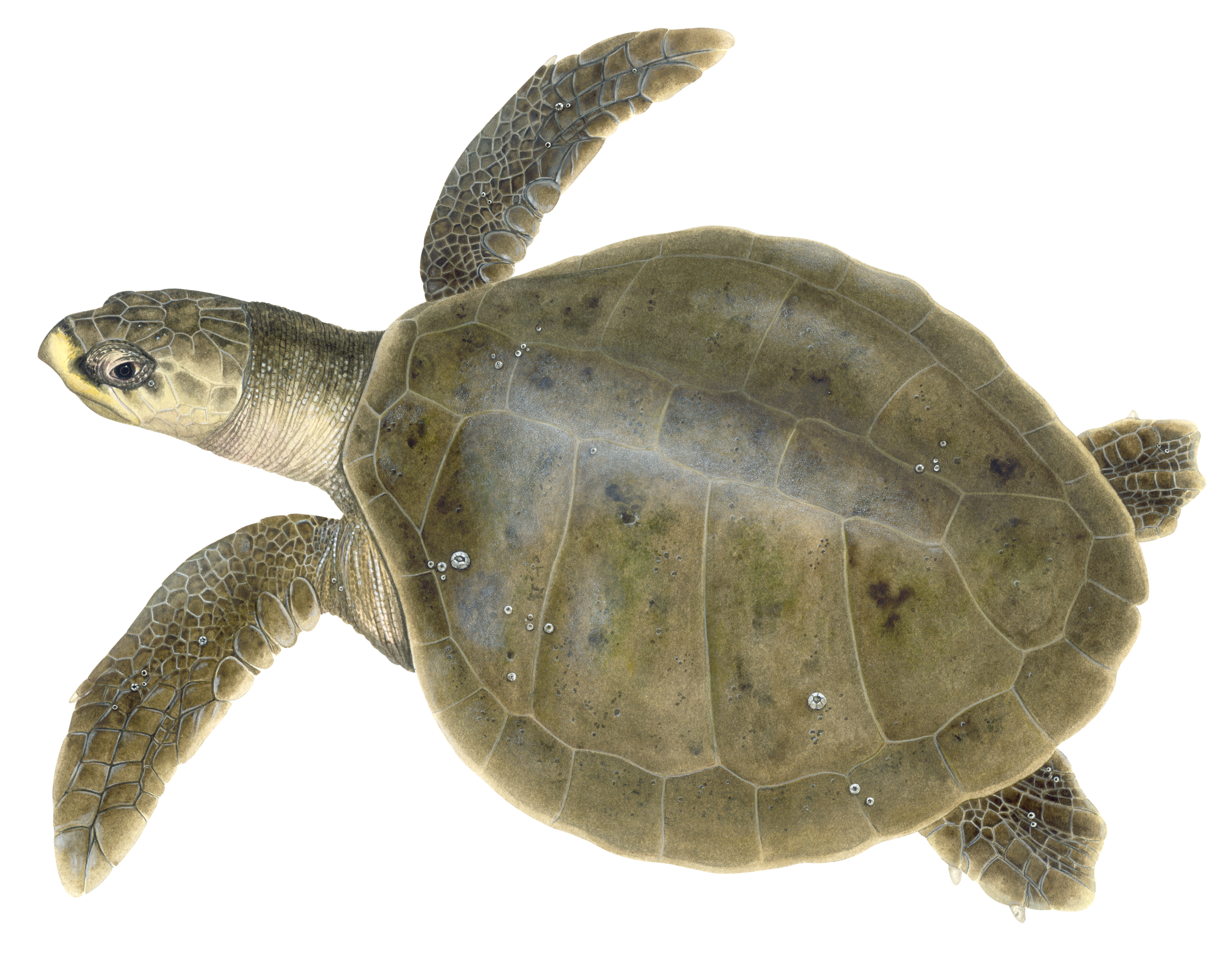 Illustration of a Kemp's Ridley Sea Turtle