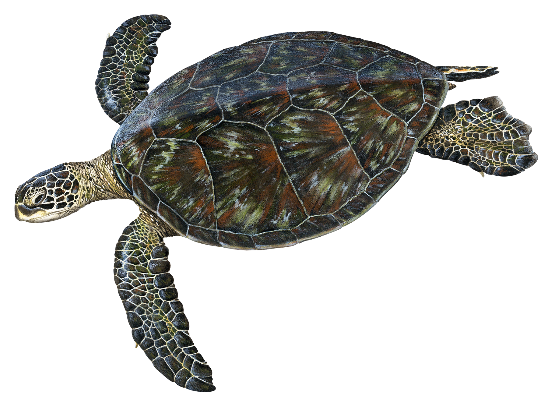 Adult Black Sea Turtle