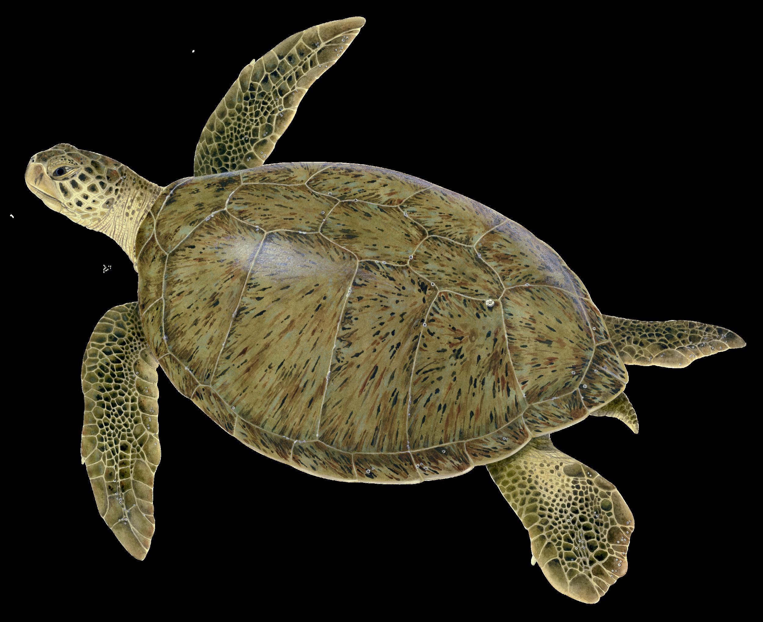 Adult Green Sea Turtle
