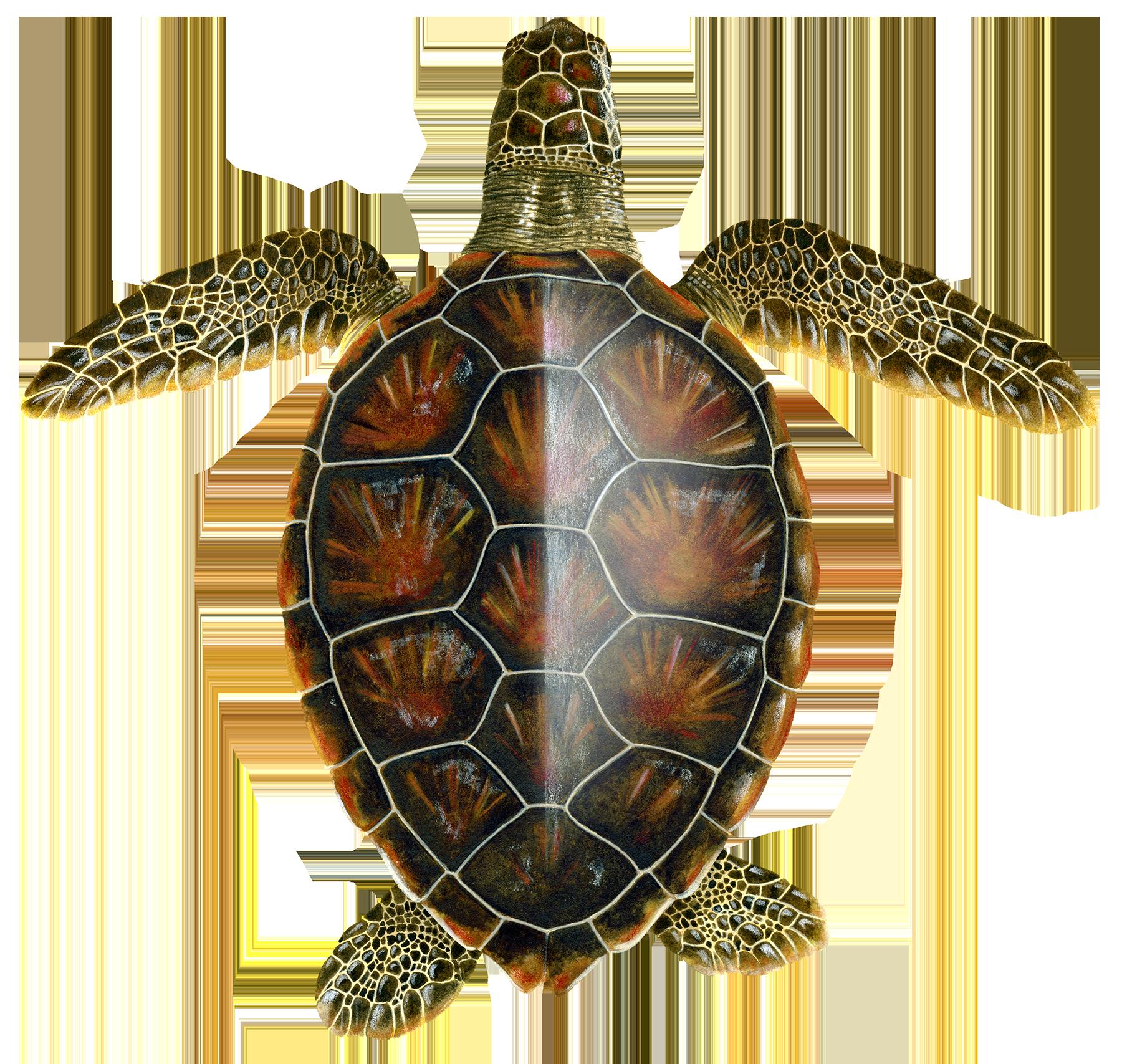 Juvenile Oceanic Green Turtle