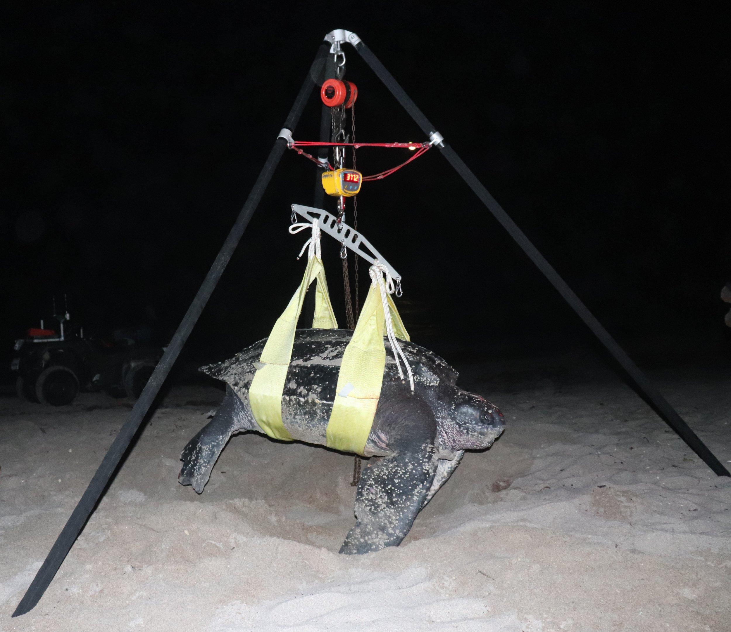 Leatherback turtle sling suspended from tripod to obtain body weight. Note turtle weight after subtracting the strap weight was 370 kg (814 lbs). (Photo: Heather Harris/Upwell).