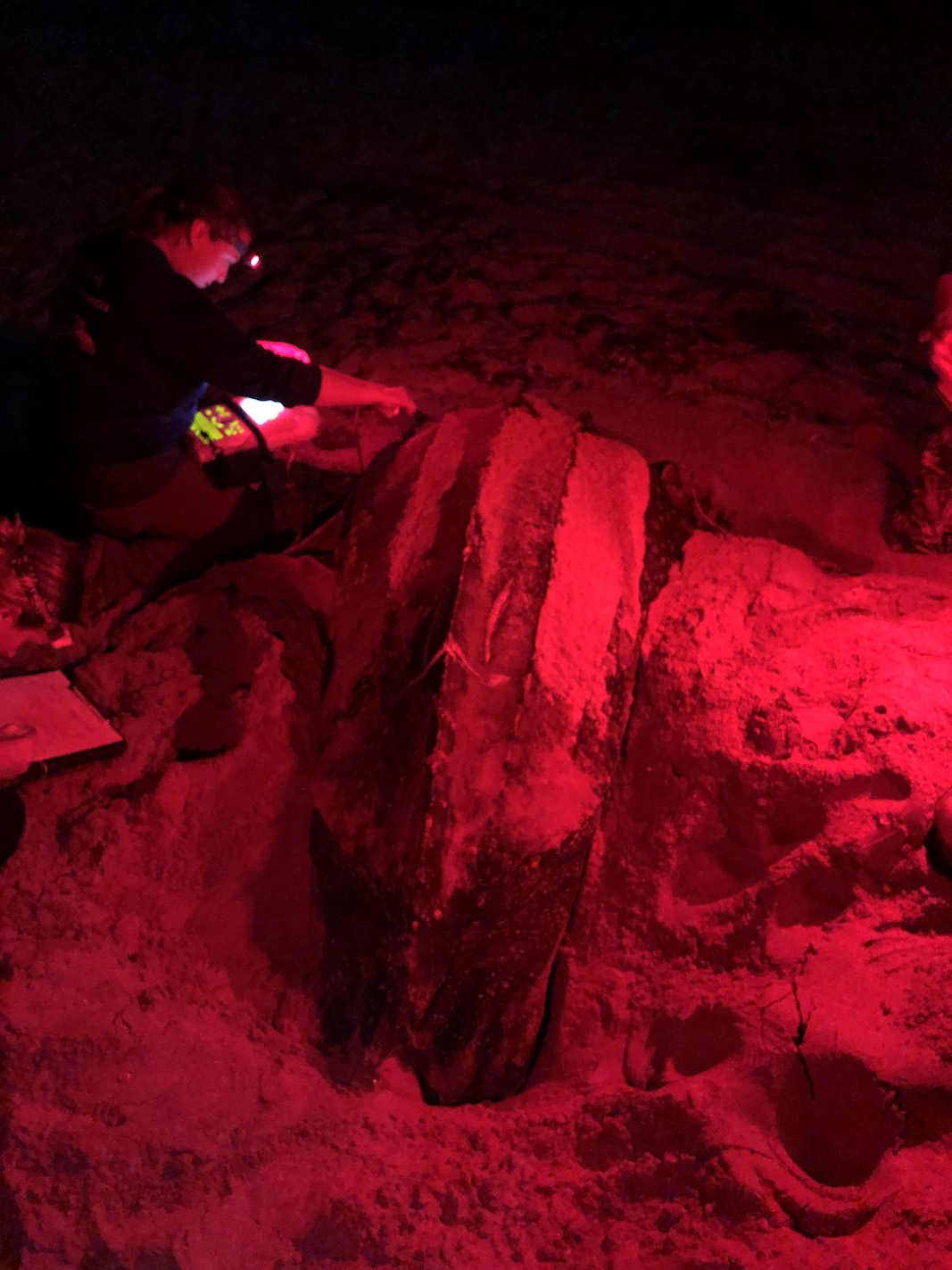 Dr. Heather Harris performing ultrasound of a nesting leatherback. (Photo: George Shillinger/Upwell).