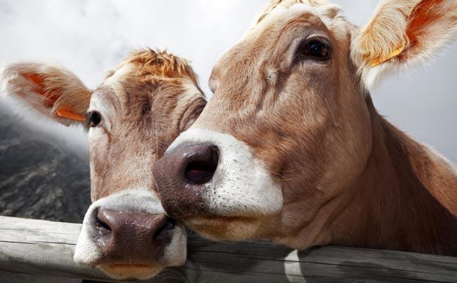 two-cows_645x400.jpg