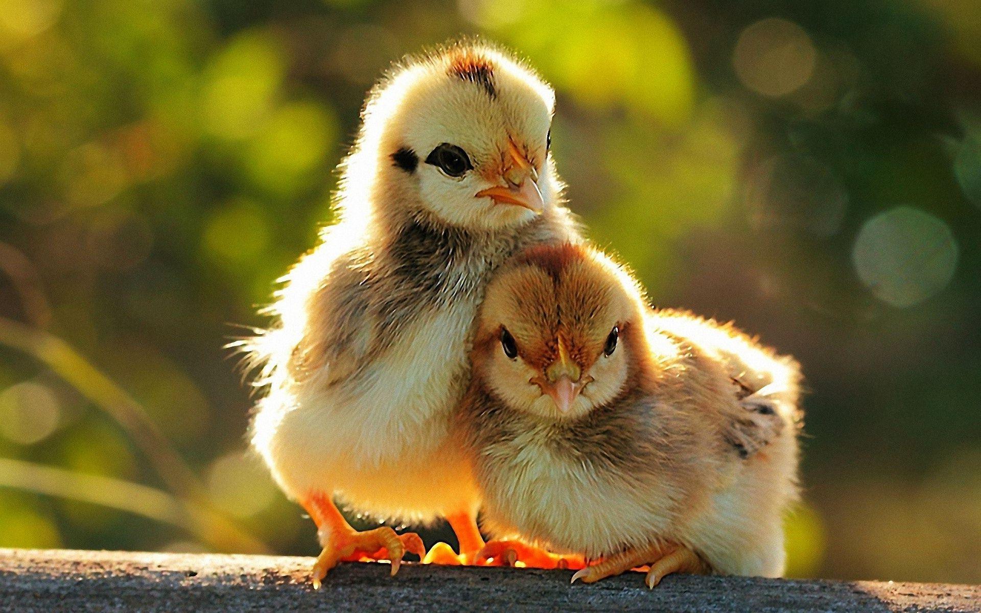 chickens1.jpg