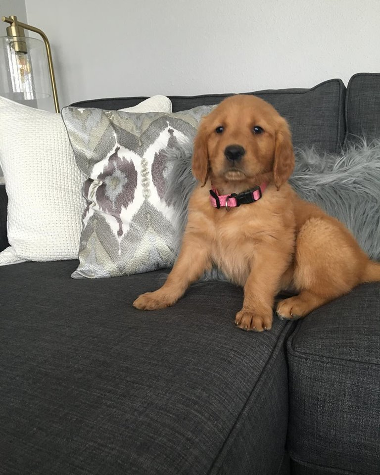 Golden Retriever Puppy Grey Couch Living Room Decor.jpg