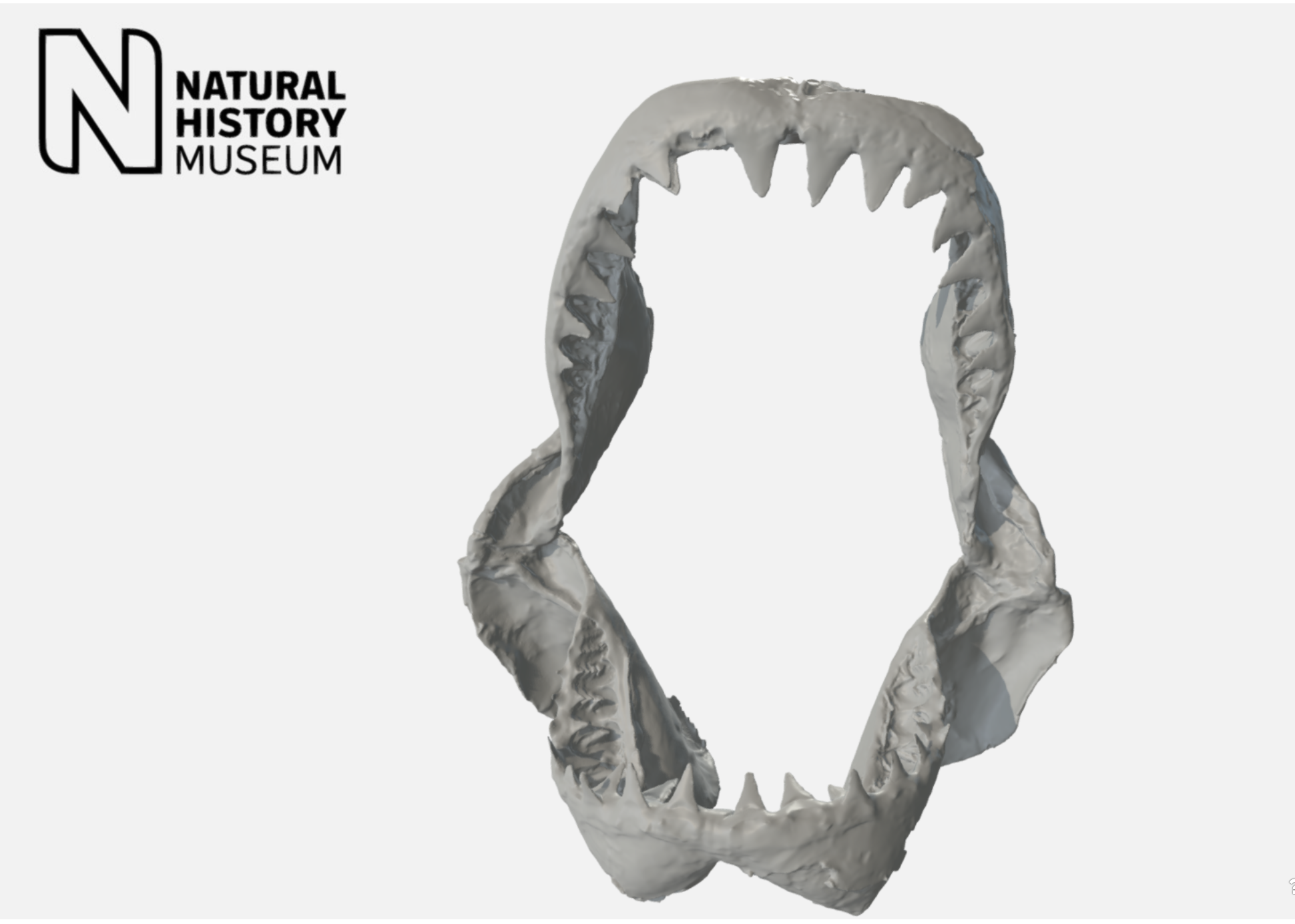 Great White Shark jaw modeled by the Natural History Museum. This model was generated from laser scans of a 25ft Great White Shark! … quite a catch! You can download the model  here .