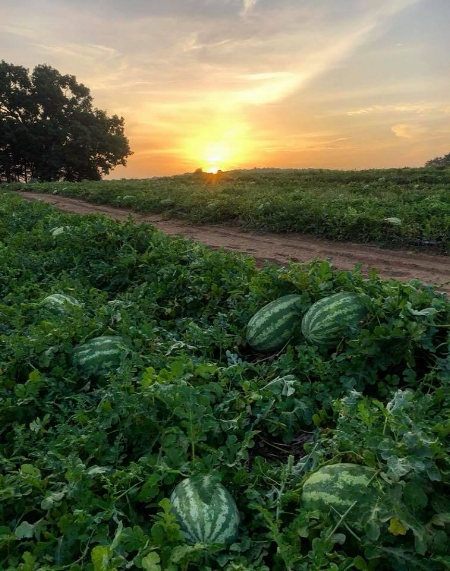 Johnson Brothers' Watermelon Patch, 2018 (Photo by Chad Graves)