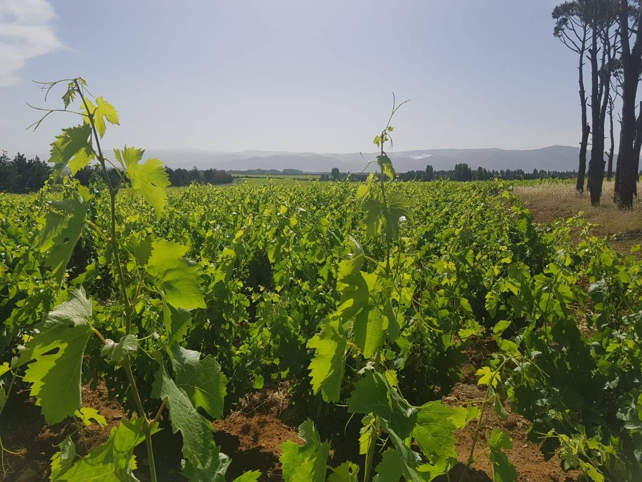 Musar Vineyards.jpg