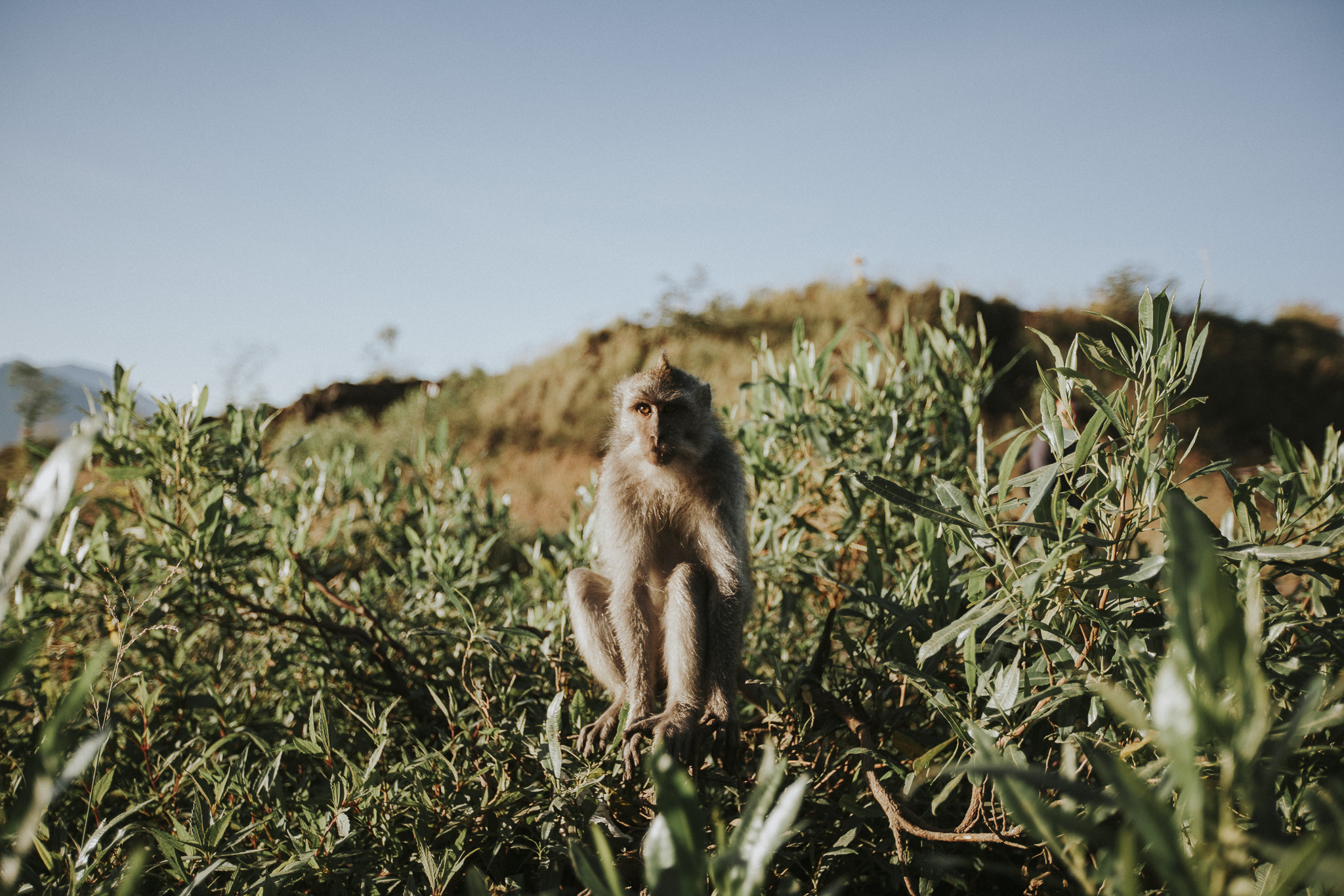 Bali Monkey on Mount Batur