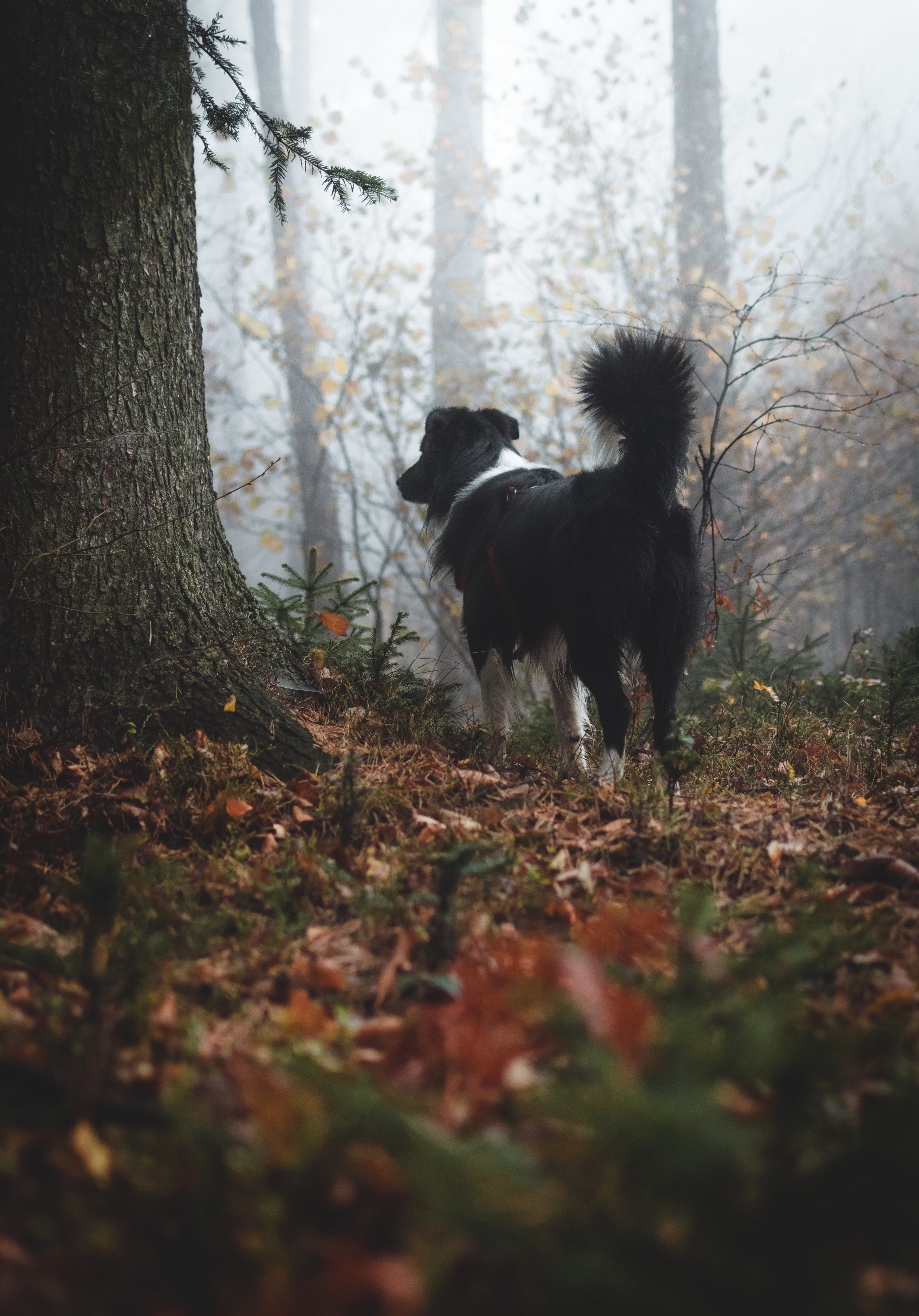 Looking for pine mushrooms with our canine friends
