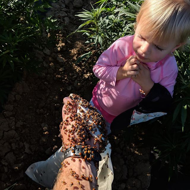 Release the ladybugs! 🐞 ☀️ 🌱 @blueforestfarms #hempfarmers #ladybugs #organicfarming #longmont