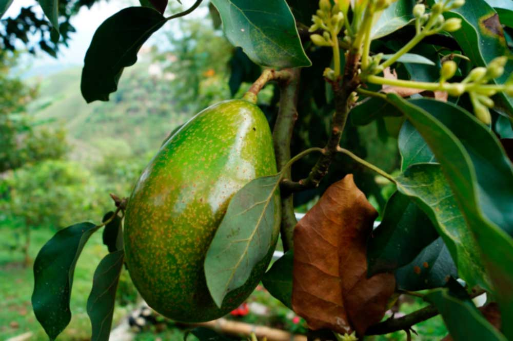 A large avocado on an avocado tree