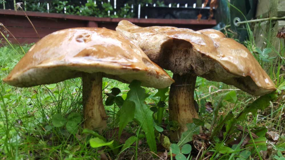 Two large mushrooms in backyard