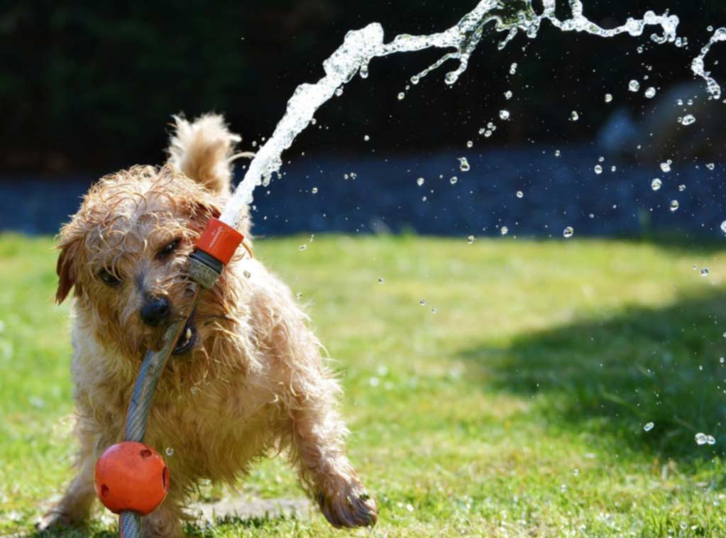 Small dog holding watering hose on lawn