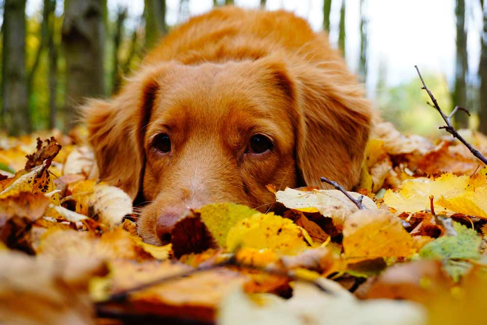 Brown dog lying on autumn leaves