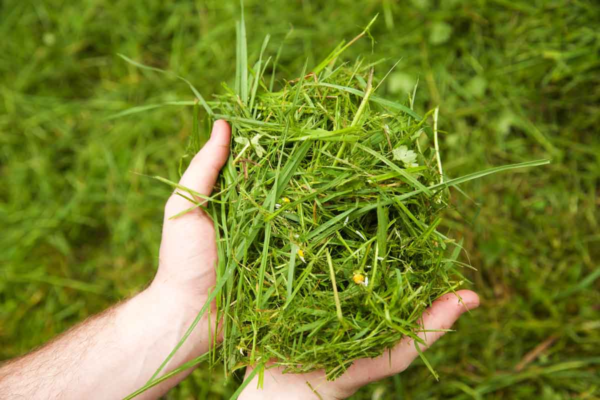 Two hands holding a clump of freshly mown grass