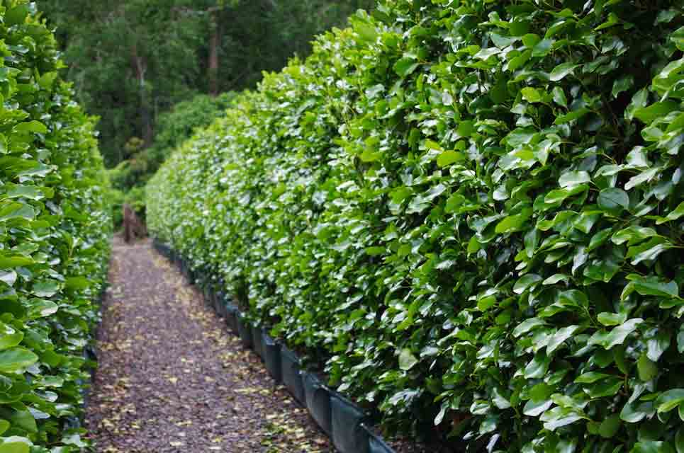 Green hedges