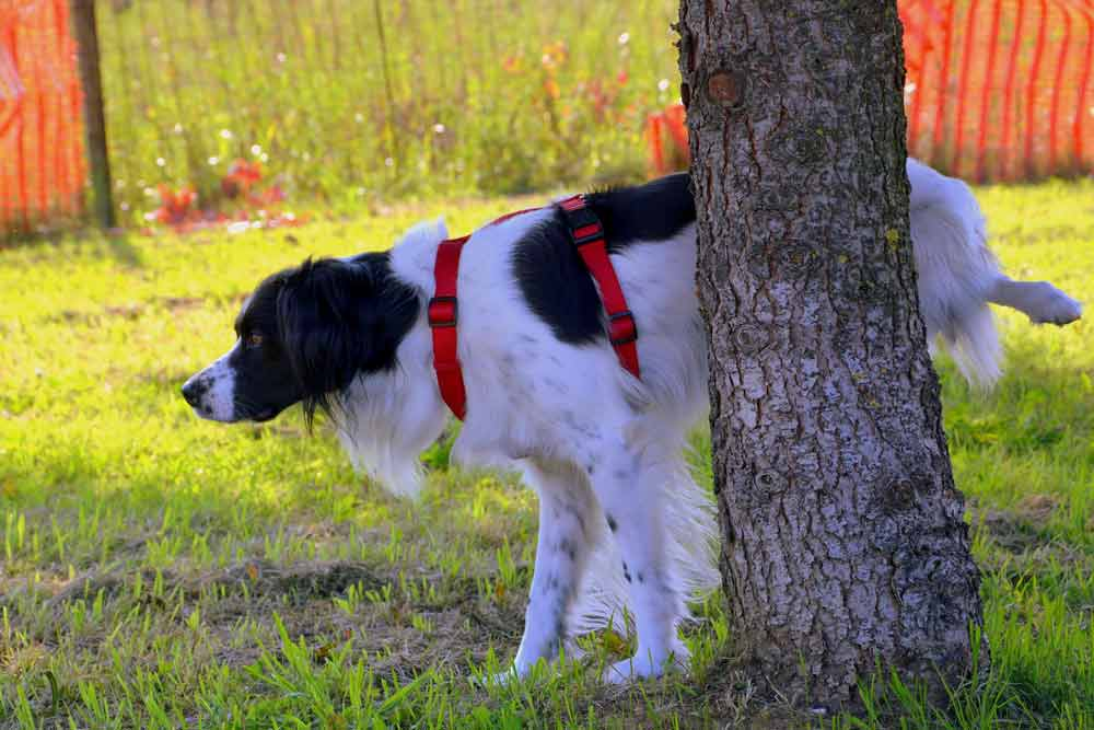 Spaniel dog urinating on a tree