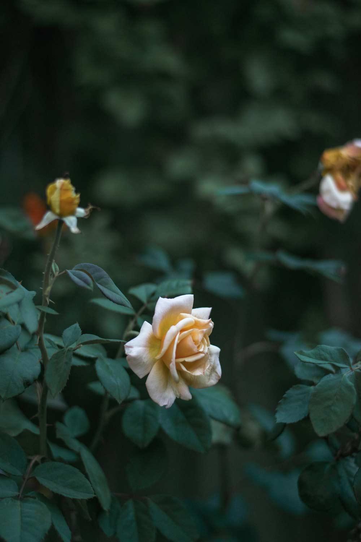 Yellow roses on rose bush