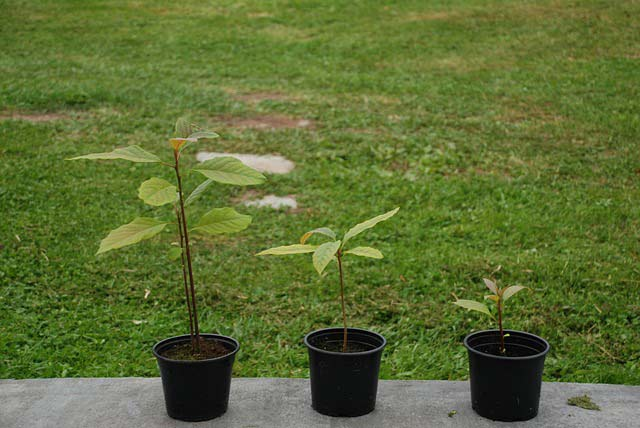 Avocado saplings