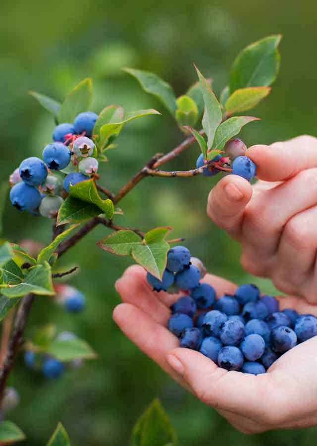 fruit-hedge.jpg