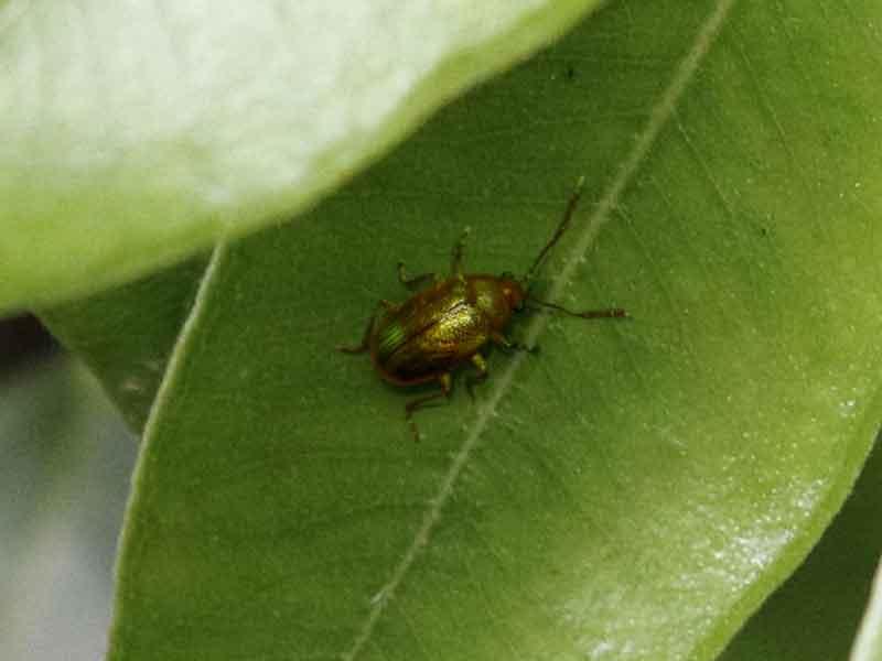 bronze-beetle.jpg