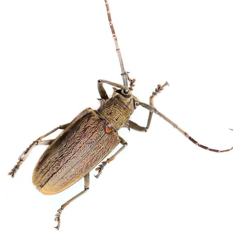 Citrus-Borer-Beetle.jpg
