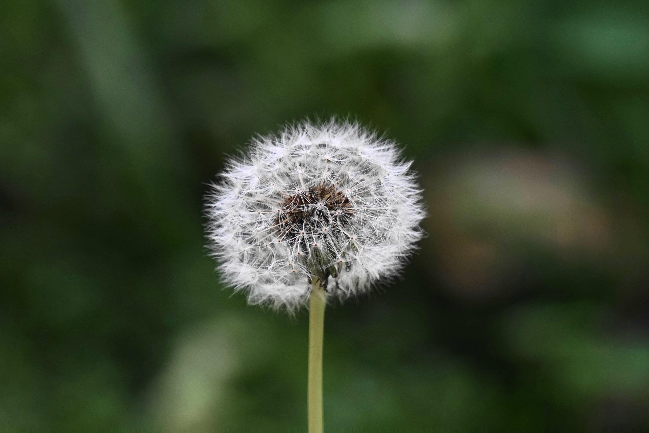 dandelion-spring-lawn