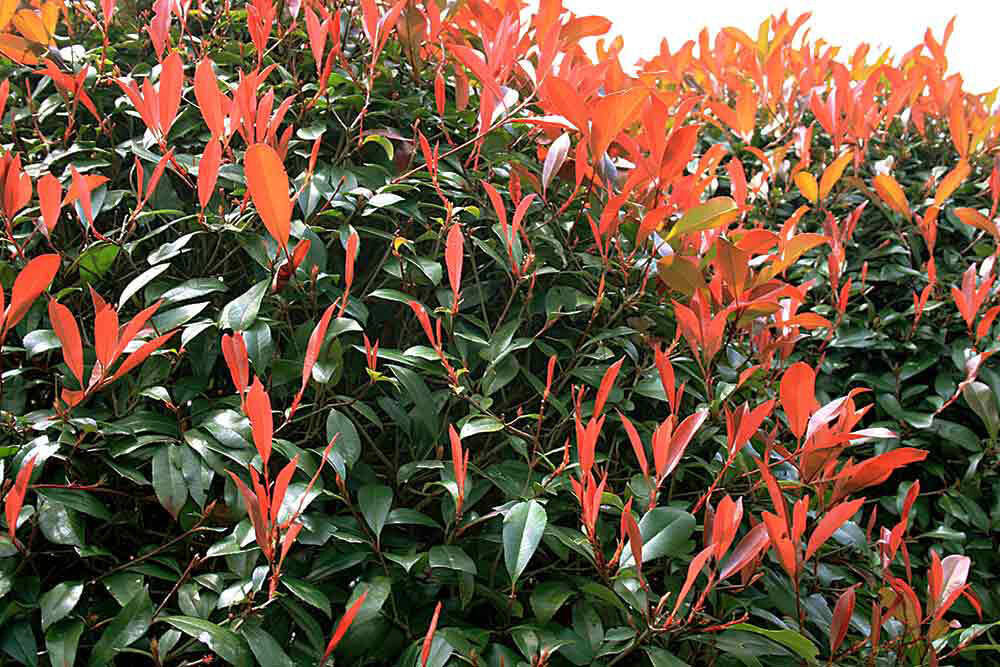 Photinia red hedge leaves