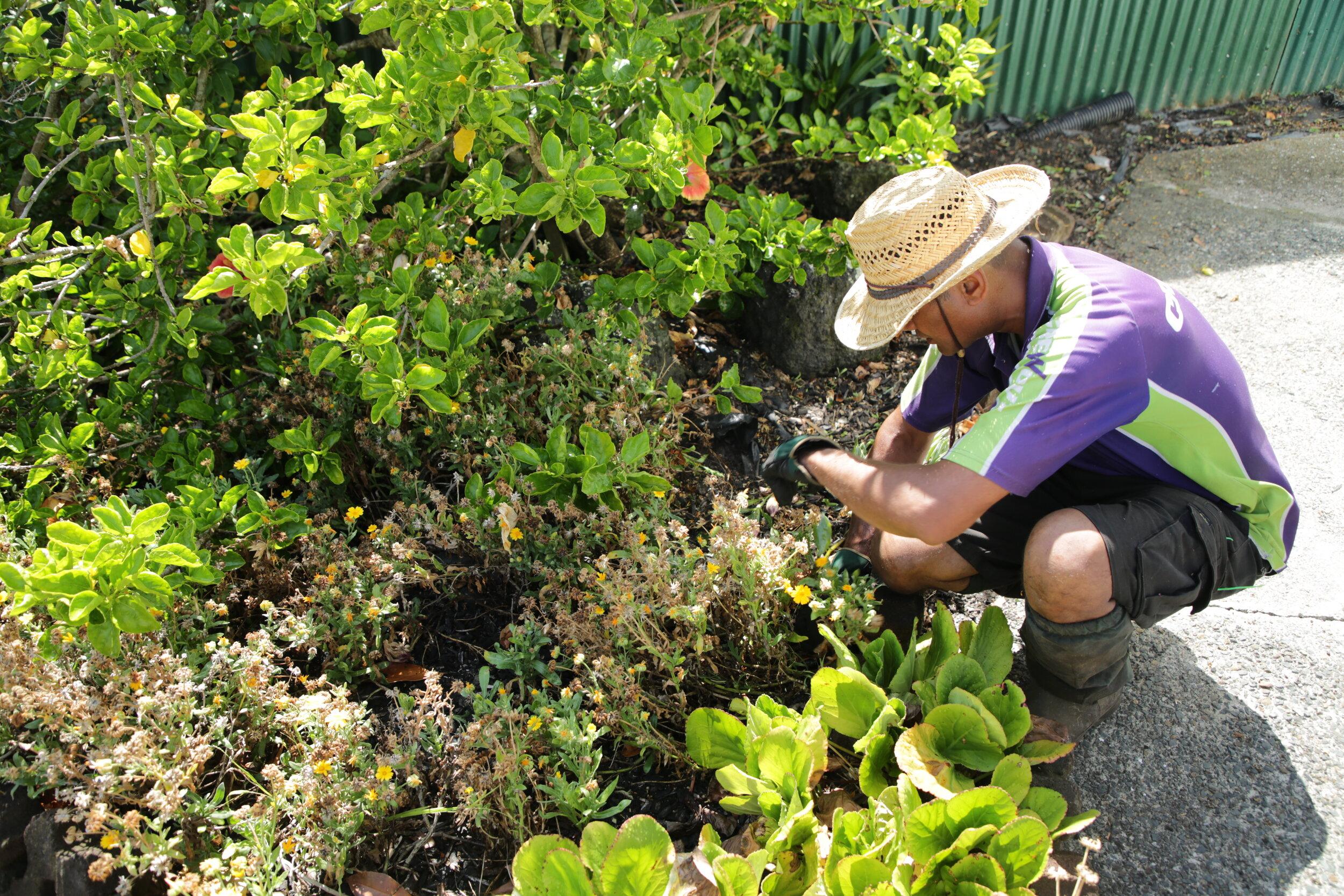 SWEET SMELL Self Seeder COTTAGE GARDEN ALYSSUM Dwarf Pink 4000 Seeds