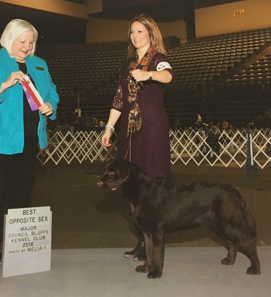 Jodee Horseman, showing Lucy's mom, Molly, at just 9 months old. Molly's first major win. She also won Best of Breed at Lawrence Jayhawk Kennel Club in 2017.