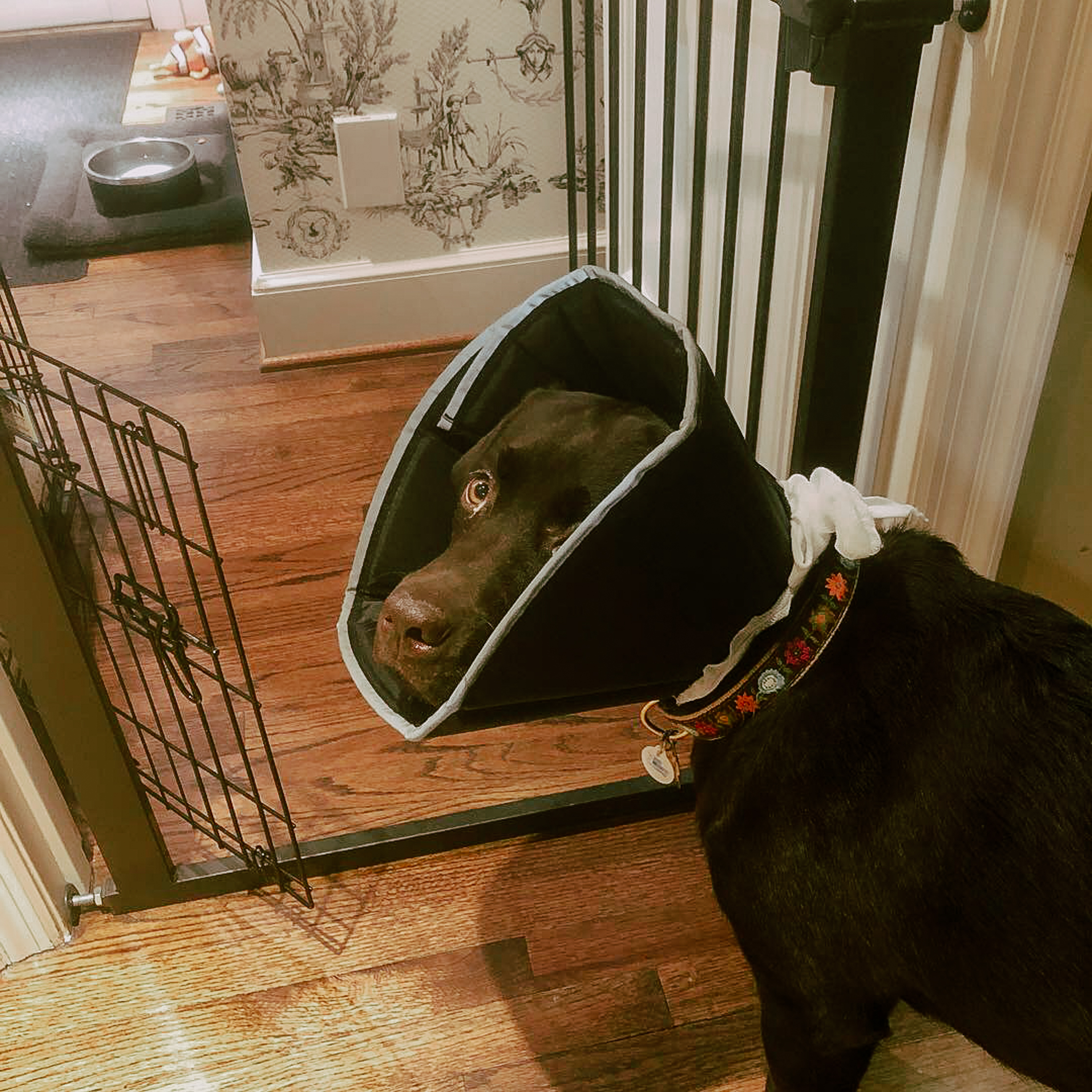 The cone I bought for Lucy the day before the operation, just in case the one from the doctor wasn't right.