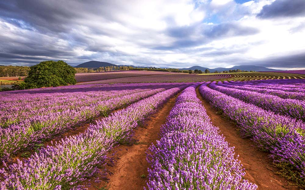 Doterra lavender oil is distilled from the freshly harvested true lavender plant from lavender farms in Bulgaria and France.