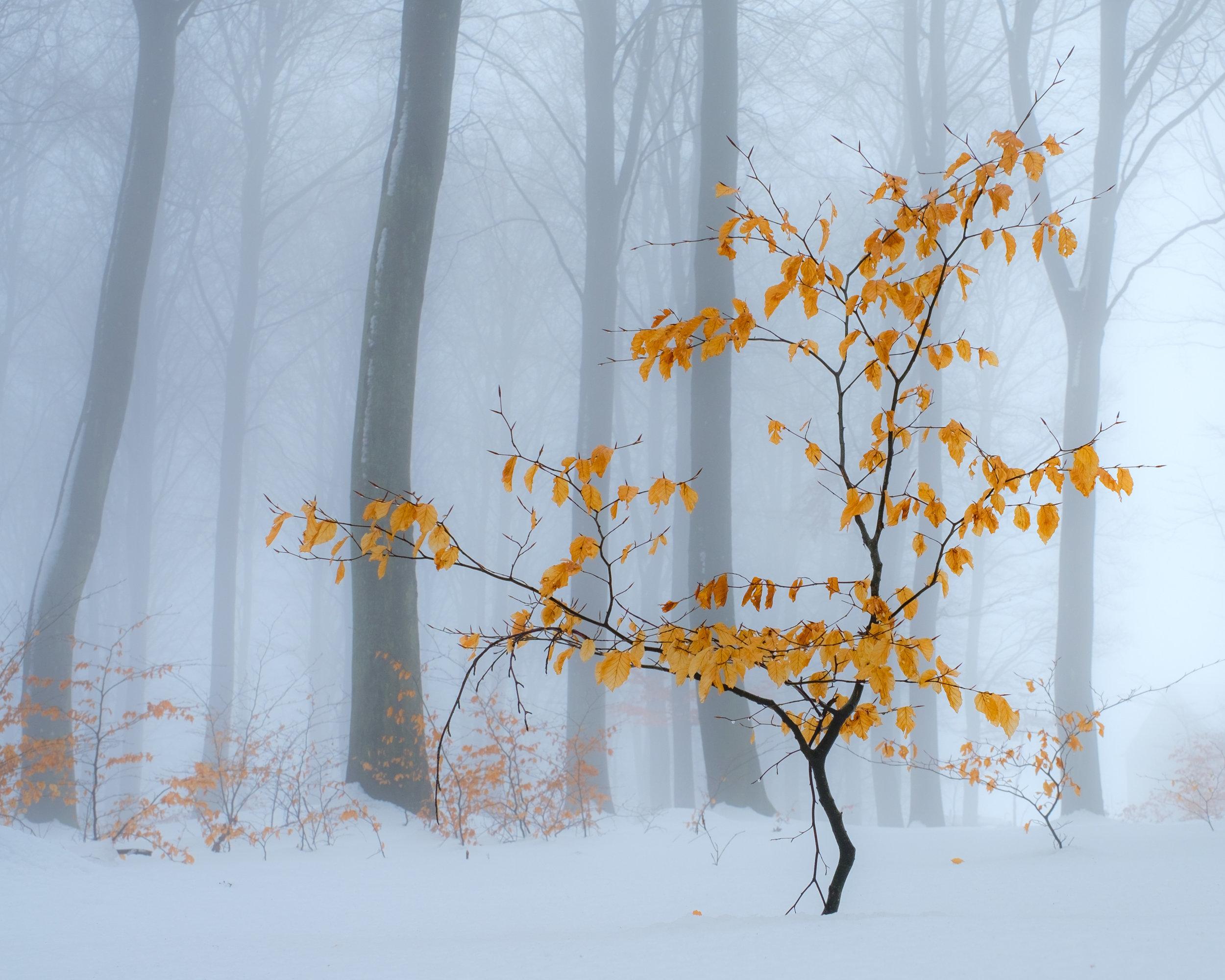 sankt olof tree coliur fog 4.jpg