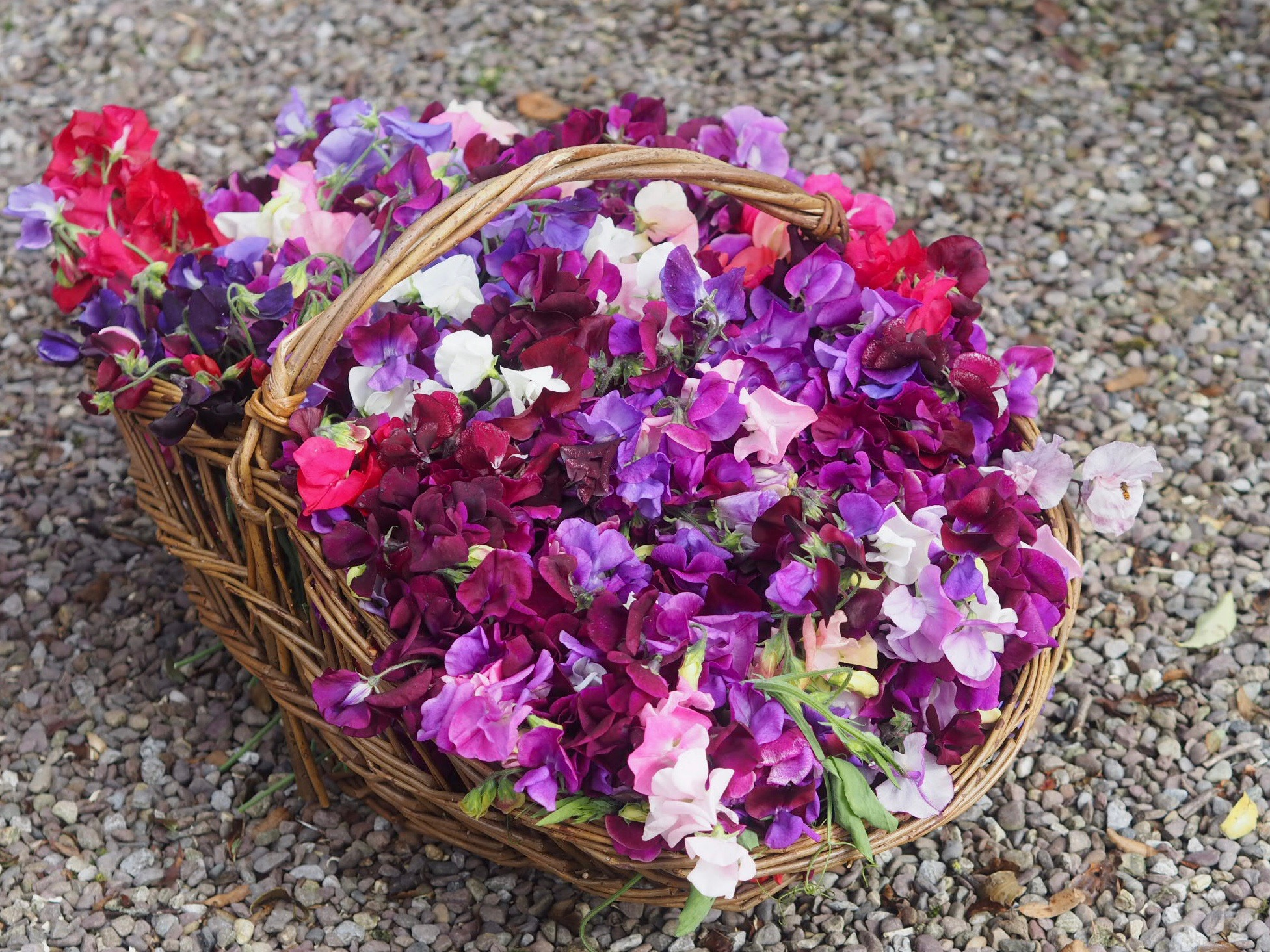 Sweet peas collected for the breakfast tables