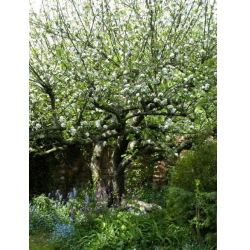 Bramley-Apple.jpg