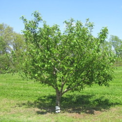 Golden-Delicious-Apple tree.jpg