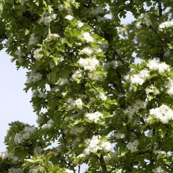 medium_crataegus_monogyna_stricta.jpg