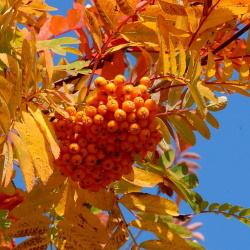 medium_sorbus_x_arnoldiana_golden_wonder.jpg