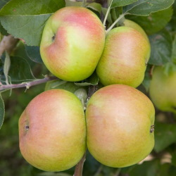 Apple-Bramleys-Seedling.jpg
