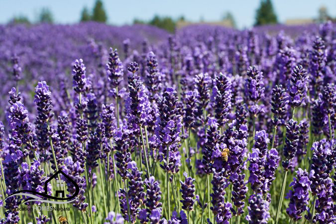 NEOB_lavender_farm_Niagara_On_The_Lake.jpg