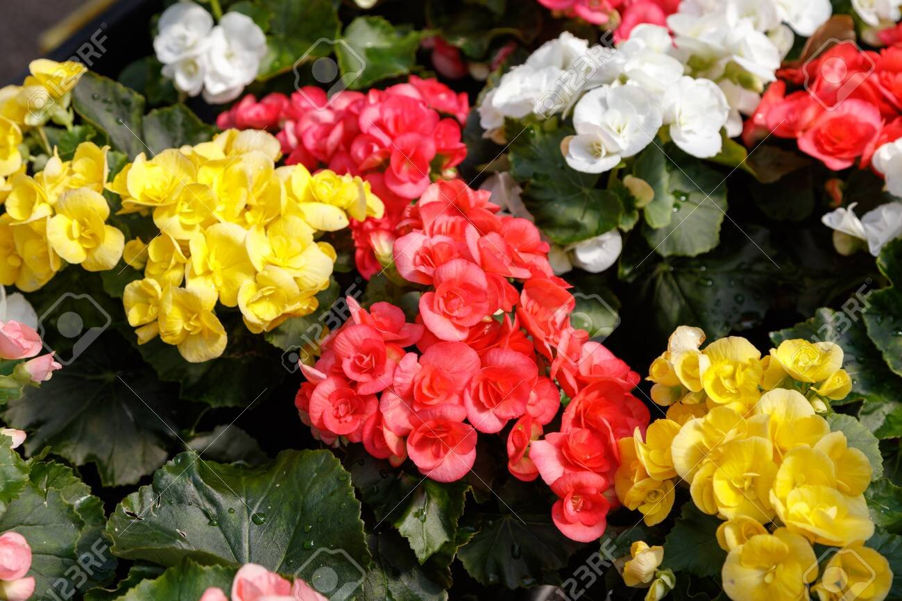 100626019-rieger-begonia-flowers-nature-background-top-view-.jpg