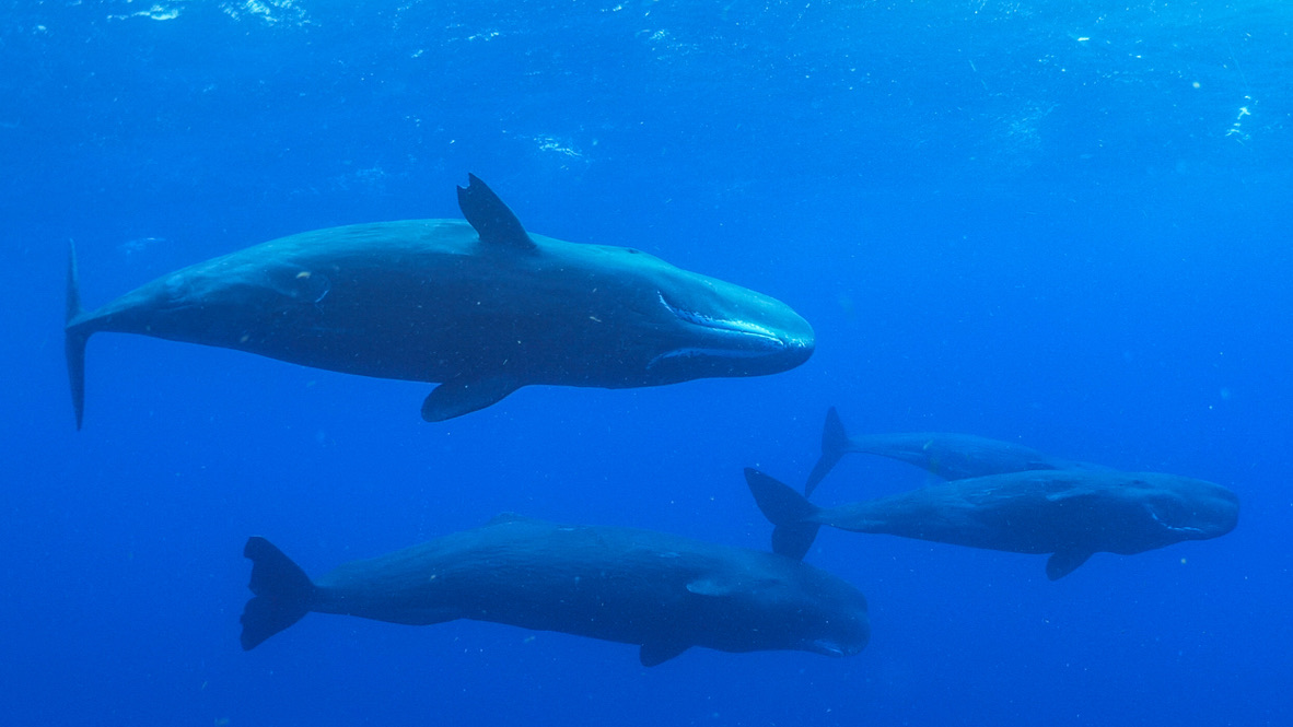 Swimming with sperm whales (the Financial Times)