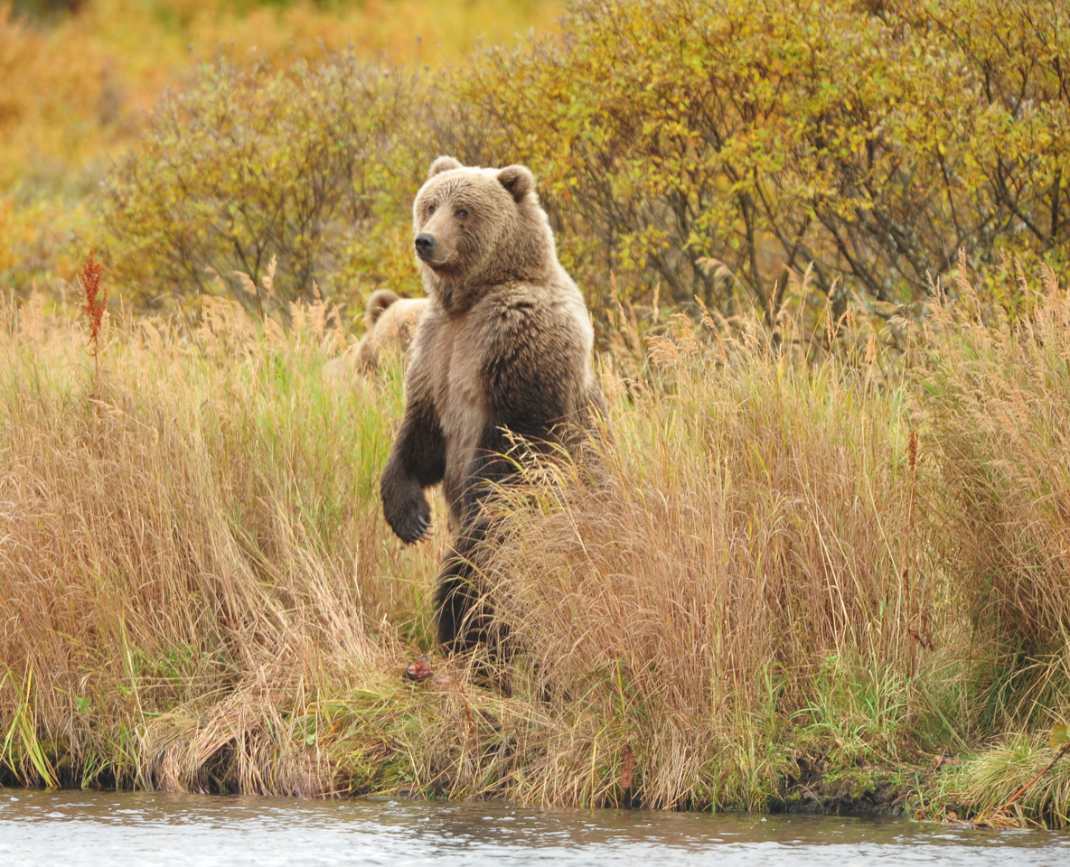 Looking for the world's biggest bears in Kodiak, Alaska (The Telegraph)