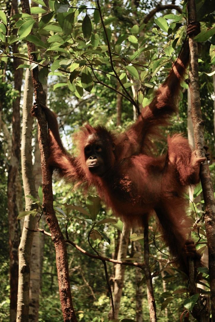 Borneo's Endangered orang-utans (Independent)