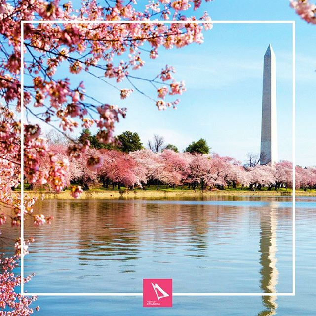 On This Day in history, in 1912 Japan gifted the Cherry Blossoms to the US and they were first planted by the Potomac! #onthisdayinhistory #cherryblossoms #dc #washingtondccherryblossoms #hallmanortho #hallmanorthodontics #hallmanorthodonticsmile