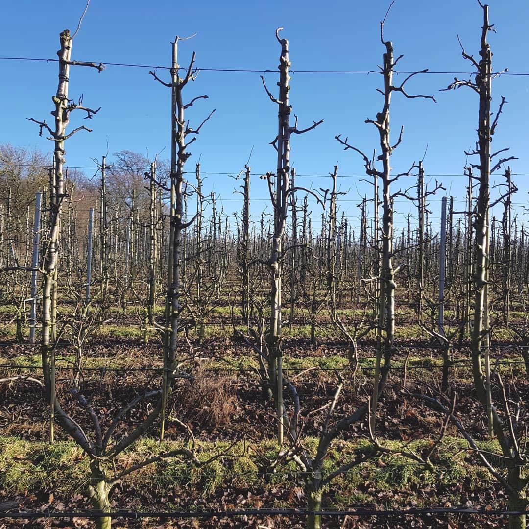 Thompsons Pear tree pruning.jpg